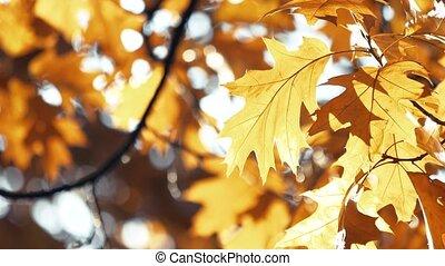Fading autumn oak leaves.