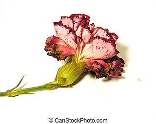 Fading carnation