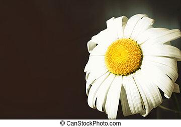 Fading flower chamomile