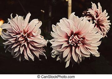 Fading flower dahlia