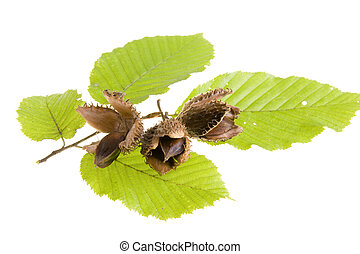 faggio, foglie, noci, sfondo bianco