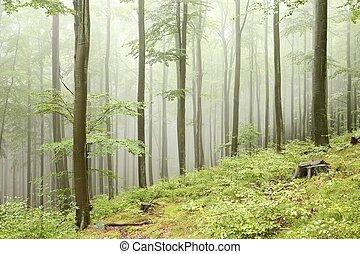 faggio, foresta, in, il, nebbia