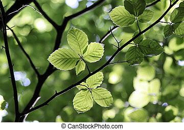 faggio, primavera, foglie, tempo