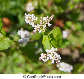 Fagopyrum (Buckwheat) plant blooming