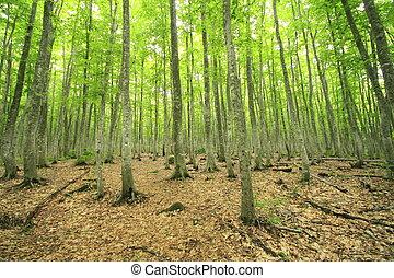 faia, floresta