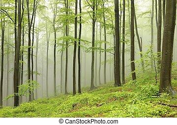 faia, primavera, nevoeiro, floresta
