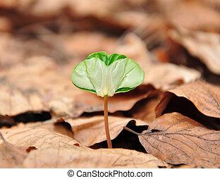 faia, seedling