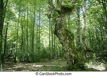 faia, verde, madeiras, magia, floresta