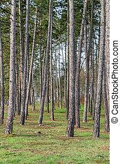Fairy tale fir tree forest