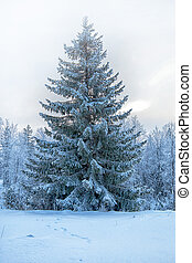 Fairy tale fir tree in the winter forest. The Republic of Karelia. Russia