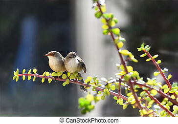 A male and female fairy-wren on a money tree