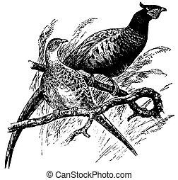 faisán, aves, común