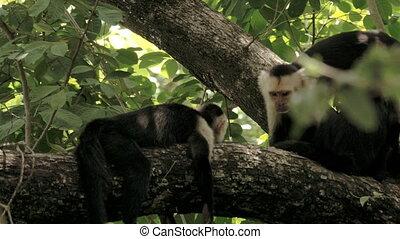 fait face, costa, sauvage, blanc, singes, rica