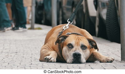 Faithful Miserable Dog Lying on the Sidewalk and Waiting...