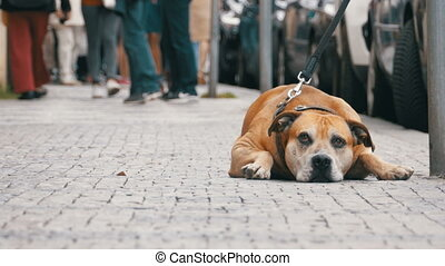 Faithful Miserable Dog Lying on the Sidewalk and Waiting Owner. The Legs of Crowd Indifferent People Passing by