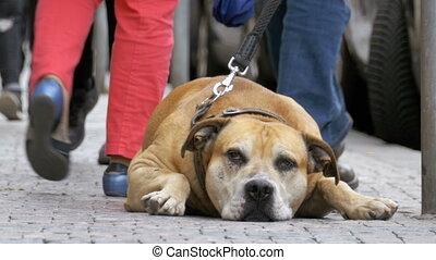Faithful Miserable Dog Lying on the Sidewalk and Waiting...