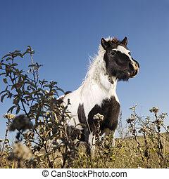 Falabella horse.