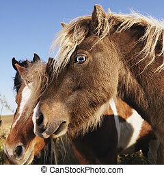 Falabella miniature horses.