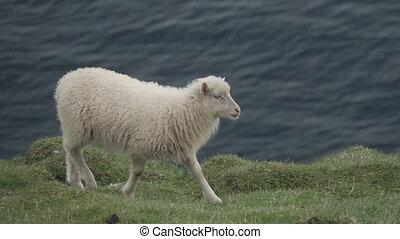 falaise, slow-mo, contre, marche, mouton, océan, sommet