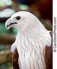 falcão, vermelho, tailed