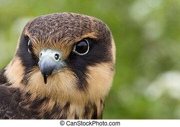 falco, subbuteo