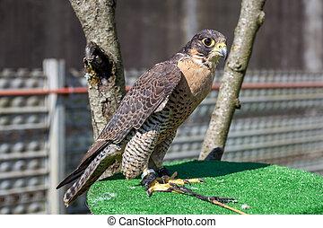 falcon at the Falcon Souq, Birds of prey.