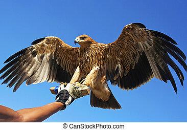 Falcon bird. - Falcon bird in the hand of the master of his...
