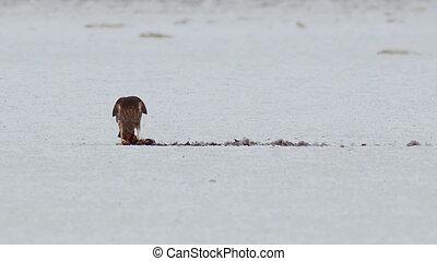 Falcon Eating Pray