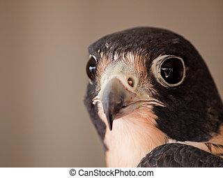 Falcon face