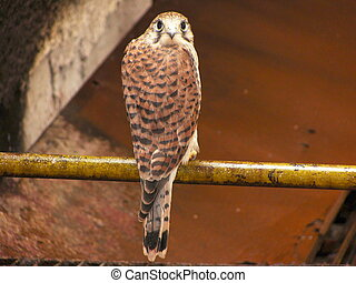 young falcon resting