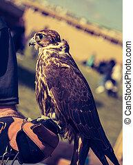Falcon hawk bird sitting on falconers hand during show
