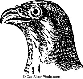Falcon Head, vintage engraving.