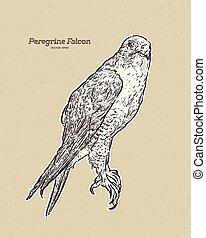 falcon., illustration antique, gravure, dessin, vecteur, peregrine