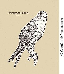 falcon., illustrazione antica, incisione, disegno, vettore, peregrine