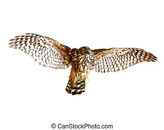 Falcon isolated on white