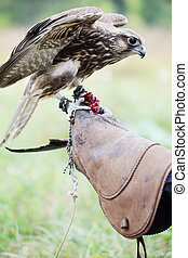 Falcon on a glove, close-up