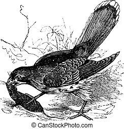 Falcon or Falco sp. vintage engraving - Falcon or Falco sp.,...