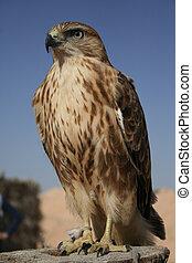 Portrait of falcon in desert, Tunisia.