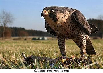 Falcon training - Falcon, training with a lure