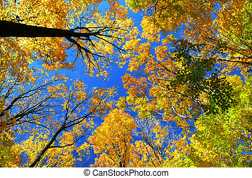 fald, ahorn, træer