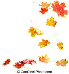 falde blade, ahorn