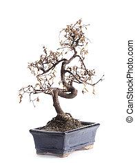 falecido, árvore bonsai
