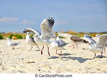 falka, közül, tenger sirály, képben látható, a, homokos, tengerpart