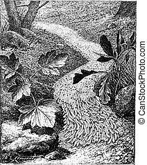 Fall Armyworm or Spodoptera frugiperda, vintage engraving -...