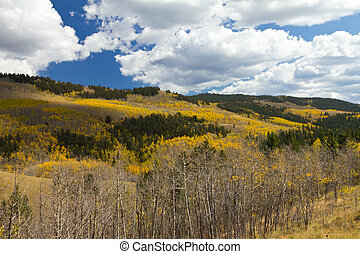 Fall Aspen Forest in the Colorado Mountains