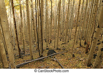aspen (Populus tremuloides) grove i the fall with yellow leaves lit by evening light