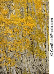 Close up view of a beautiful Aspen grove located in Telluride, Colorado
