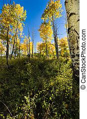 Fall Aspen trees in LaSal Mountains
