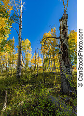 Fall Aspen trees in LaSal Mountains