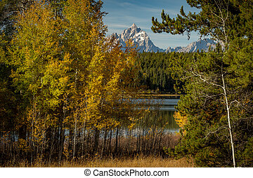 Fall Aspen trees make a nice frame for the distant Teton Mountains
